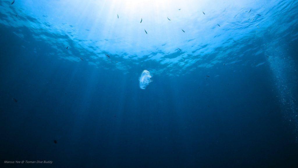 tioman-dive-buddy-jellyfish