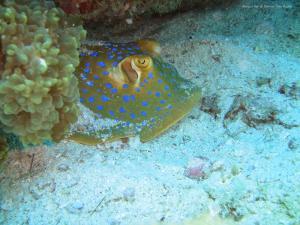 tioman-bluespotted-ray
