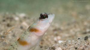 tioman-gobyfish-with-shrimp